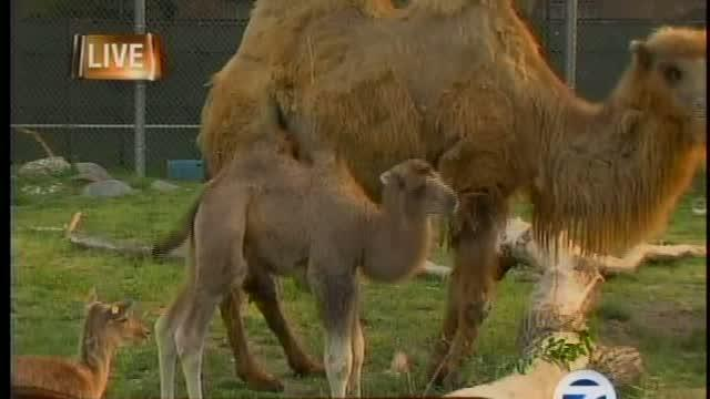 Detroit Zoo's newest addition, baby camel Bulgan