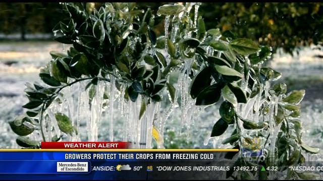 Growers protect their crops from freezing cold