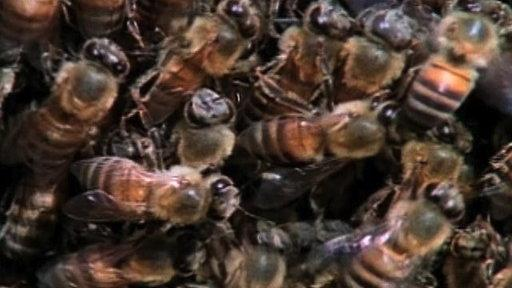 Weird Nature: Killer Bees