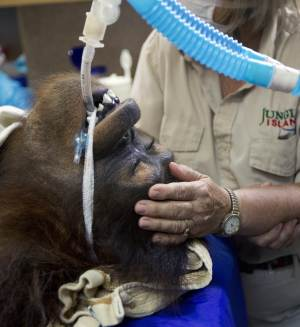 """FILE-In this Sept. 5, 2012 file photo, Jungle Island volunteer Linda Jacobs comforts Peanut, one of the orangutans from the private zoo, as she is treated with R-CHOP therapy, a combination of drugs used in chemotherapy to treat her aggressive non-Hodgkin lymphoma in Miami. Her doctors said Tuesday, Nov. 13, 2012 that they decided to stop treatments after three courses of combination chemo-immunotherapy. The team says since the disease was caught early on, they are confident Peanut received """"an adequate course of therapy."""" (AP Photo/J Pat Carter, File)"""