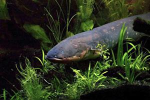 An electric eel is pictured in this undated handout photo