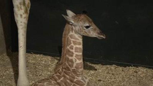 Help Name a Rare Baby Giraffe Born in Captivity