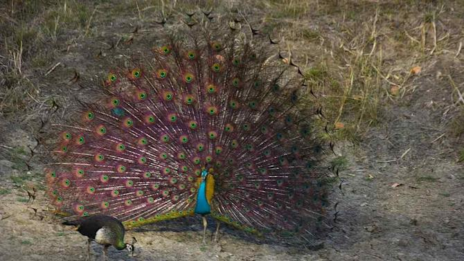 Travel Wildlife India Peacock Kanha
