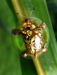 <p>The rare golden beetle was spotted in Mundgod, India (Chime Tsetan/Caters)</p>