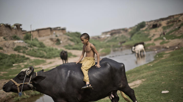 An Afghan refugee boy rides a buffalo while directing a herd toward a stream, on the outskirts of Islamabad, Pakistan, Thursday, Aug. 21, 2014. (AP Photo/Muhammed Muheisen)
