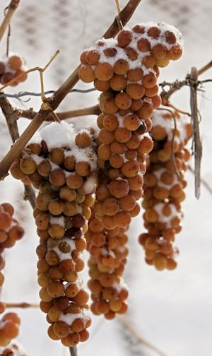 FILE - In this Nov. 25, 2005 file photo, Vidal grapes hang on the vine covered in snow waiting to be harvested and pressed for ice wine in Branchport, N.Y. Winery and vineyard operators from Michigan to New York and parts of Canada have waited nervously for temperatures to get low enough to harvest the tender fruit. (AP Photo/Julie Jacobson, File)