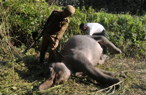 <p>Indian forestry workers look at the body of an elephant after it was struck by a passenger train at Mahananda Wildlife Sanctury, some 35 kms from Siliguri on December 3, 2012.</p>