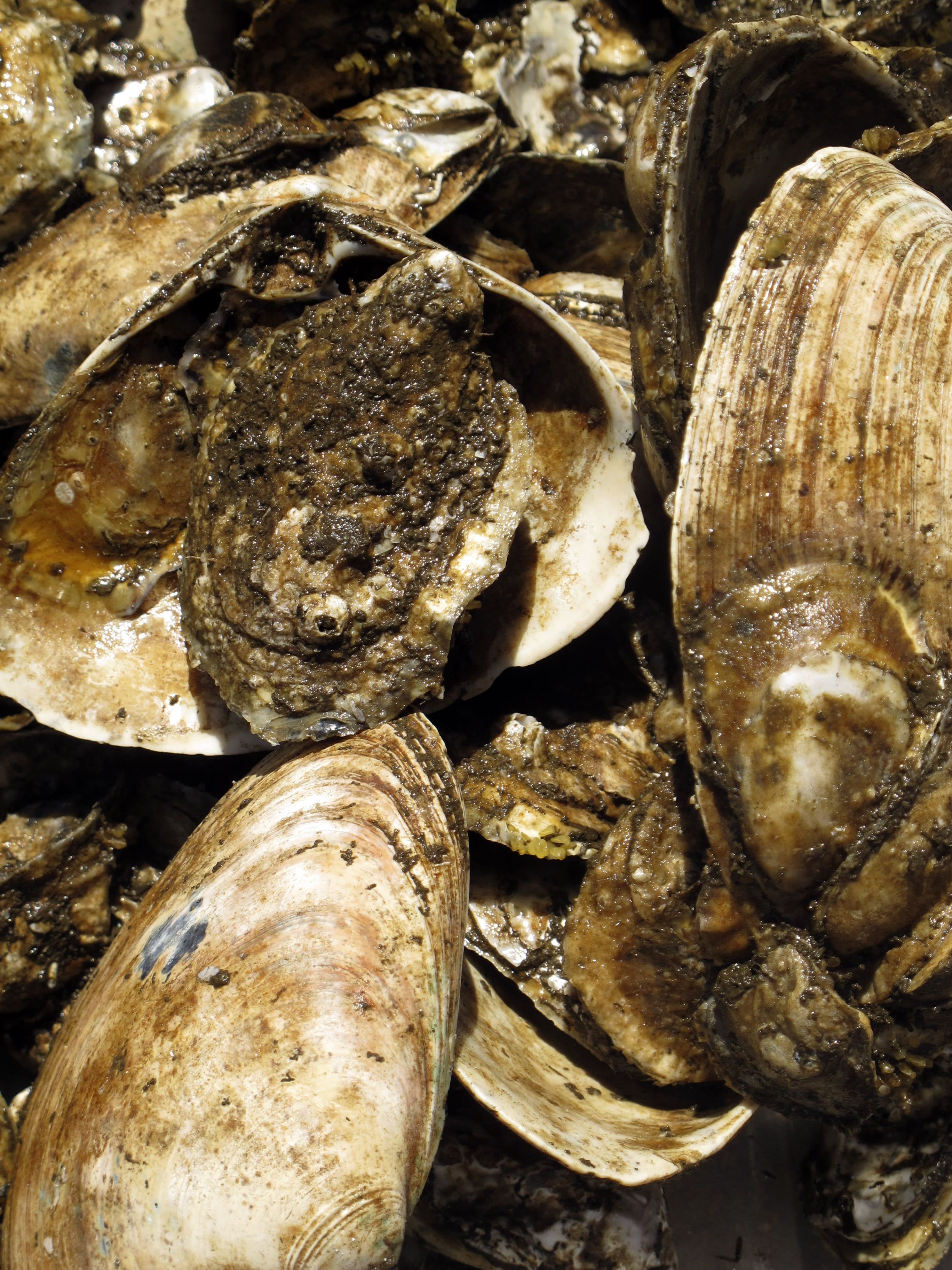 State moves forward with oyster research for cleaner water