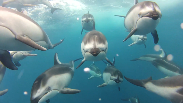 Amazing Dolphin Pod Video Raises Skepticism