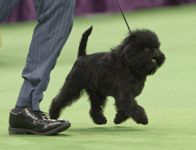 Ernesto Lara runs with Banana Joe, an affenpinscher,  who won best in show during the 137th Westminster Kennel Club dog show Tuesday, Feb. 12, 2013, at Madison Square Garden in New York. (AP Photo/Fra