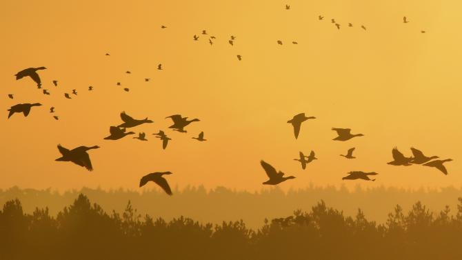 Flocks of geese fly at dawn along the coastline of The Wash near Snettisham in east Britain