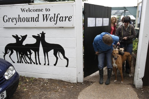 Volunteers coax retired racing dogs through a door to take them for a walk in the grounds surrounding Wimbledon Greyhound Welfare in Hersham, Surrey May 22, 2011. Each year, only around 8,000 dogs make the grade to become racing dogs. An equal number retire. The industry-funded Retired Greyhound Trust claims that their 72 adoption branches find homes for roughly half that number. Picture taken May 22, 2011. REUTERS/Chris Helgren  (BRITAIN - Tags: ANIMALS SOCIETY)