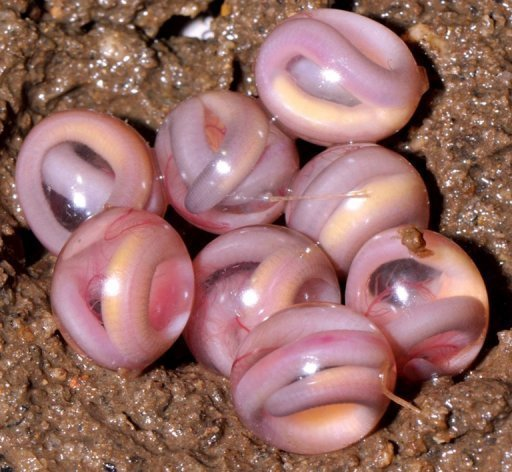 An egg clutch of Chikilidae, …