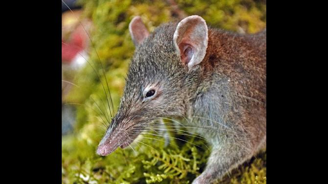 This undated photo released by Museum Victoria shows a Paucidentomys vermidax, a new species of rat, that was found in the forests of southern Sulawesi Island, Indonesia, in 2011. The unique rat that lives off earthworms and doesn't chew or gnaw is the only rodent out of more than 2,200 known species that does not have molars and instead has bicuspid upper incisors. (AP Photo/Museum Victoria, Kevin Rowe) NO SALES