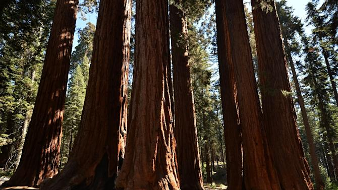 People walk amongst giant Sequoia trees at the Sequoia National Park in California, a major attraction for tourists worldwide