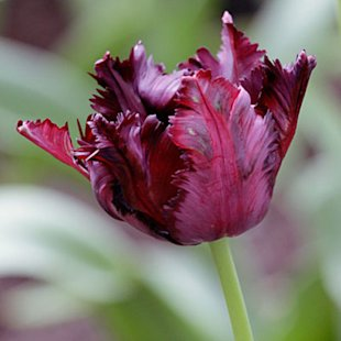 One of the darkest tulips on the market