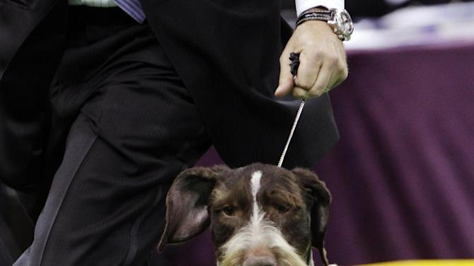Oakley, a German wirehaired pointer and winner of the Sporting group, is shown during the 137th Westminster Kennel Club dog show, Tuesday, Feb. 12, 2013, at Madison Square Garden in New York. (AP Photo/Frank Franklin II)