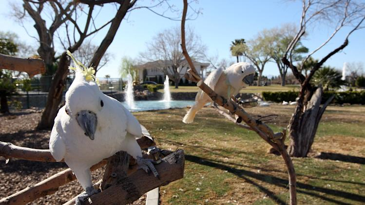 "FILE - This March 12, 2013 file photo shows two cockatoos, Elliott, left, and Lulu stand on branches at Wayne Newton's  Casa de Shenandoah in Las Vegas. The sign outside the sprawling Newton estate in southeast Las Vegas says ""For Sale.""  Even if Casa de Shenandoah sells, the Newtons say their lease lets them stay in the three homes on the property. (AP Photo/Las Vegas Review-Journal, Jerry Henkel, File) LOCAL TV OUT; LOCAL INTERNET OUT; LAS VEGAS SUN OUT"
