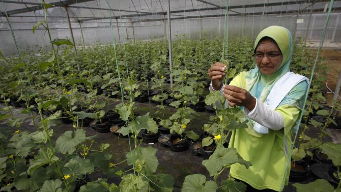 """In this photo taken Oct. 4, 2012, a worker checks her plant in a plant nursery, using technology called the """"autopot system"""" at a rural community in Pulau Manis village, Pahang state, Malaysia. Malaysian technology firm Iris Corp. built two years ago this rural community where villagers - 80 families in all - live for free in low-cost bungalows and work on a high-tech hydroponic farm, a setup the company hopes to replicate elsewhere. The government is now involved in a plan to build similar villages across this Southeast Asian country, where nearly one of 10 people in rural provinces lives below the official poverty line. (AP Photo/Vincent Thian)"""