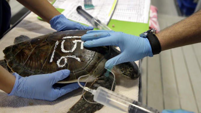 In this Thursday, Dec. 6, 2012 photo, a rescued sea turtle is given fluids at the New England Aquarium's Animal Care Center in Quincy, Mass. Sea turtle strandings in Cape Cod Bay are so common that the phenomenon has its own annual season and an established network of rescuers trained to find and help the endangered animals. (AP Photo/Elise Amendola)