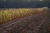 <p>Rows of corn severely damaged by widespread drought are left standing for insurance adjusters to evaluate after the rest of the field was removed on a farm near Bruceville, Indiana, in August 2012. German banks seem to be losing their appetite for agricultural commodities trading as public opinion turns against the investment vehicles blamed for driving up global food prices.</p>