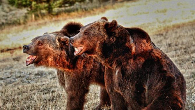 FILE - In this Sept. 19, 2012 file photo provided by David McKay, grizzly bears, Griz, right, and Yosemite are seen at Animals of Montana, a captive animal facility near Bozeman, Mont. Federal authorities say the death of a Montana animal trainer mauled by the two 500-pound captive brown bears could have been prevented if standard safety procedures had been followed. Twenty-four-year-old Benjamin Cloutier was killed in November while cleaning the Syrian brown bears' pen at Animals of Montana, which rents out captive-bred animals for photography shoots and motion pictures. (AP Photo/David McKay, File)