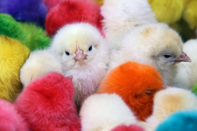 Dyed chicks are displayed for sale for Easter in the Bab Touma district in Damascus, Syria, Sunday,  April 8, 2012. Pope Benedict XVI implored the Syrian regime Sunday to heed international demands to