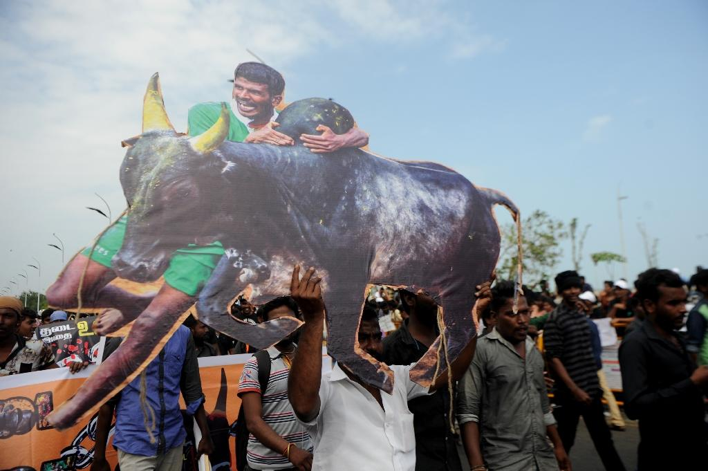 India PM overturns ban on bull-wrestling festival