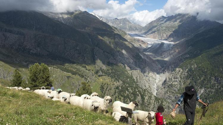 A flock of alpine sheep guided by a shepherd walk on a path on the way from the summer grazing grounds high above the Aletschgletscher glacier down to Belalp in the canton of Valais, in Belalp near Blatten, Switzerland, Saturday Aug. 30, 2014. (AP Photo/Keystone,Anthony Anex)