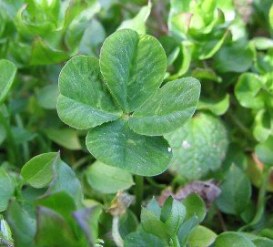 Four Leaf Clovers Bring Good Luck
