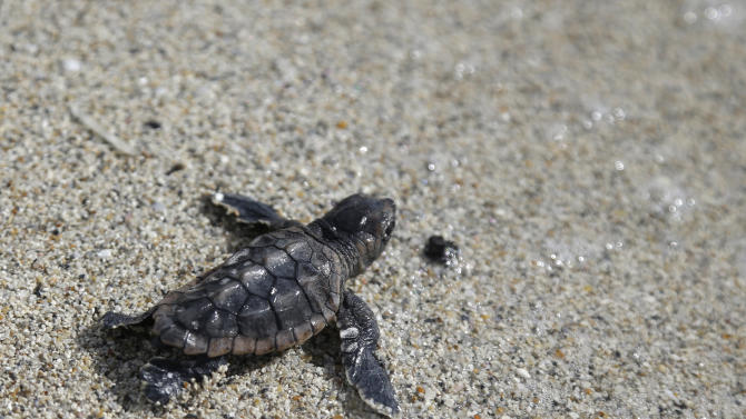 In this photo taken Tuesday, July 9, 2013, a loggerhead sea turtle hatchling makes its way into the ocean along Haulover Beach in Miami. The turtle is an evaluated hatchling, and was manually released into the sea after being removed from the nest by a conservation specialist doing a nest success inventory. Sea turtle nesting season on Florida's Atlantic coast runs from March through October. (AP Photo/Lynne Sladky)