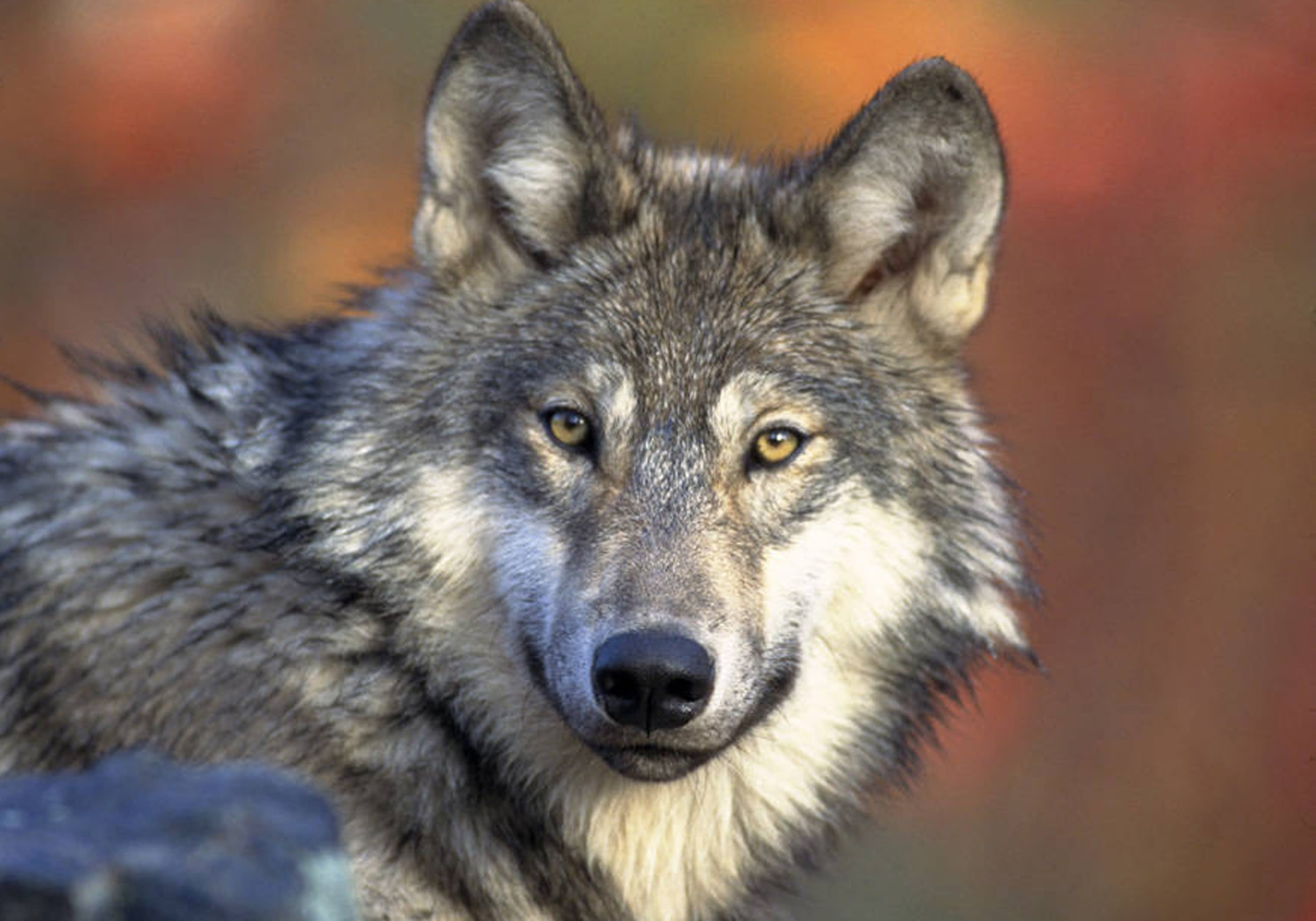 Some gray wolves to be returned to endangered list
