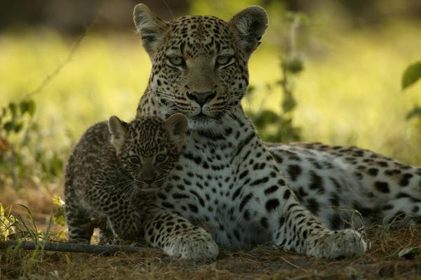 New Nat Geo Film Spots Leopards' Lighter Side