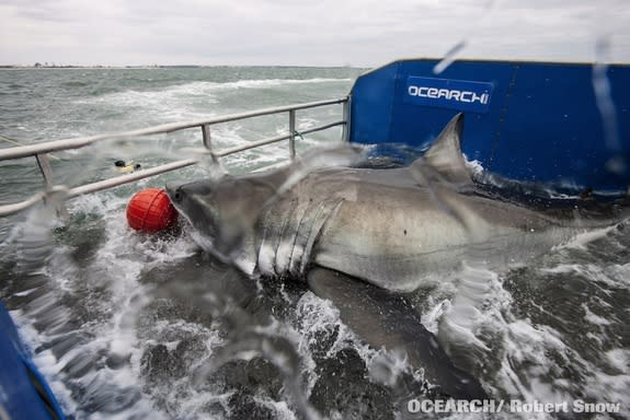 Great White Shark Tagging Expedition Sets Sail Today