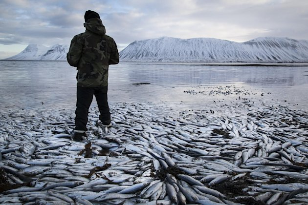 Herring worth  billions in exports are seen floating dead Tuesday Feb. 5 2013 in Kolgrafafjordur, a small fjord on the northern part of Snaefellsnes peninsula, west Iceland, for the second time in two