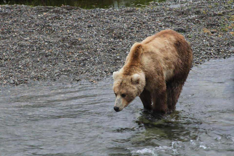A brown bear looks for food near the Brooks Falls viewing area in Katmai National Park and Preserve, Alaska on July 4, 2013. (AP Photo/Mark Thiessen)