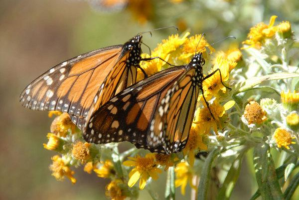 Butterflies' Astounding Tale Revealed in New 3D Movie