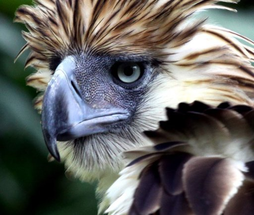 "The Philippine eagle is the world's largest eagle and is ""critically endangered"" with just 90-250 pairs left in the wild"