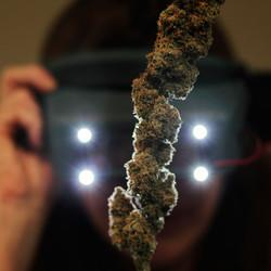 Doctors Call On DEA To Reschedule Marijuana For Medical Research Purposes