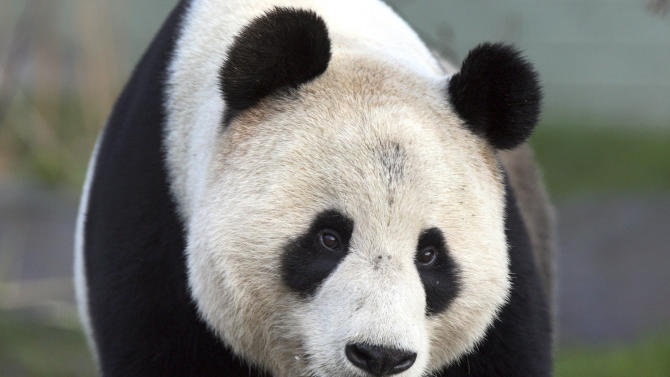 FILE- Giant panda named Yang Guang explores his enclosure at Edinburgh Zoo in Edinburgh, Scotland, in this file photo dated Monday, Dec. 12, 2011.  The 8-year old male panda Yang Guang is reported to have fallen ill, suffering from colic, and has been removed from display at the zoo while receiving treatment.  Yang Guang arrived to Scotland along with female panda Tian Tian from China in early December 2011, the first to live in Britain in nearly two decades.  (AP Photo/Scott Heppell, file)