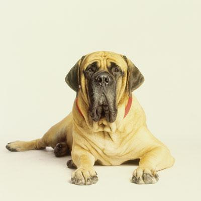 Mastador (Mastiff + Labrador Retriever)