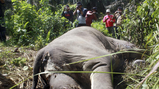 FILE - In this June 1, 2012 file photo, reporters take pictures of a dead Sumatran elephants allegedly poisoned by poachers for its tusks, in Bireum Bayeun, Aceh province, Indonesia. An environmental group says 129 critically endangered elephants have died on Indonesia's Sumatra island in less than a decade, many from poisoning or shooting, highlighting the country's weak enforcement of laws against poaching. WWF Indonesia said in a report Tuesday, June 4, 2013 that the Sumatran elephants have been found dead in Riau province since 2004, but no one has been convicted or jailed. The group said killings are on the rise, with 29 elephants either shot or poisoned last year, including 14 in Aceh province. (AP Photo/Iskandar, File)
