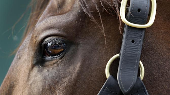 Kentucky Derby winner Orb looks on as he is cooled down after a workout at Pimlico Race Course in Baltimore, Thursday, May 16, 2013. The Preakness Stakes horse race is scheduled to take place May 18. (AP Photo/Patrick Semansky)