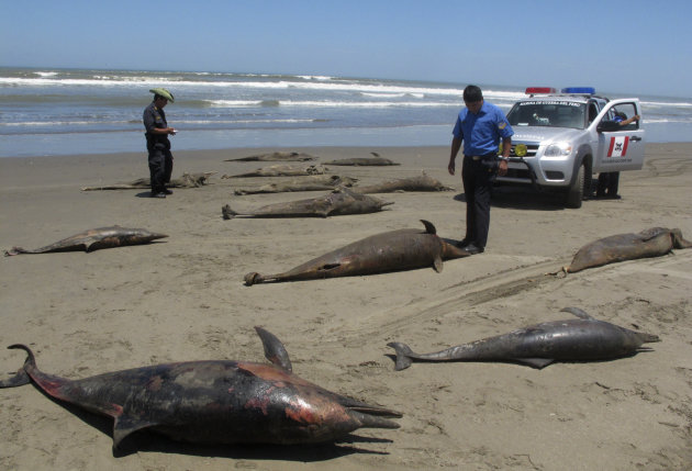In this April 6, 2012 photo, officials stand next to dolphin carcasses on the shore of Pimentel Beach in Chiclayo, Peru. Scientists and Peruvian officials are investigating a mass die-off of hundreds