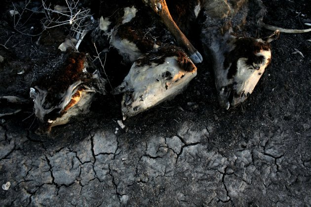 In this Jan. 20, 2009 file photo, cows lie dead on Hilda Schneider's farm in Stroeder, Argentina. Schneider lost around 500 cows in 2008 due to the drought. From Chile to Colombia to Mexico, Latin Ame