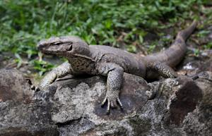 In this July 9, 2014 photo, a monitor lizard sits at…