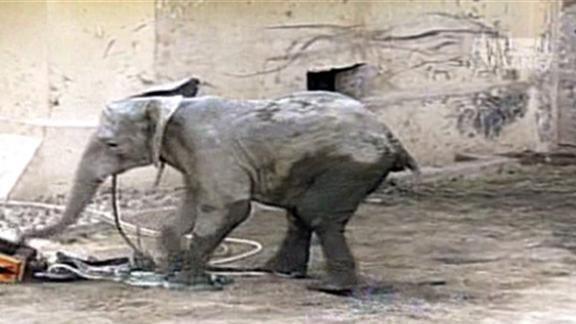Elephant Is Electrocuted