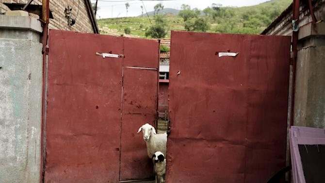 Sheep look out from a gate at a village near Dolomiti Mountain Resort in Chongli county of Zhangjiakou