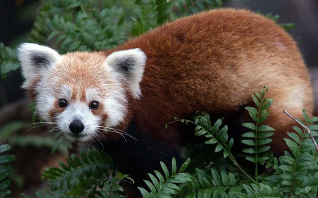 Rusty the missing red panda (photo: National Zoo's Twitter feed)