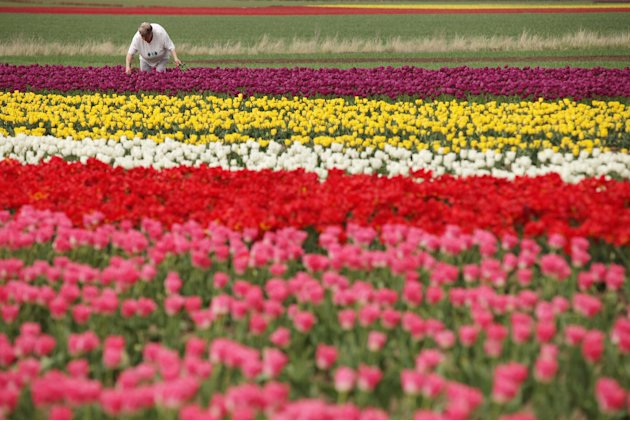 tulipasA visitor plucks tulips from a self-service tulip field on April 27, 2012 near Schwaneberg, Germany. Spring weather is finally taking hold in Germany with temperatures expected to reach 28 degr